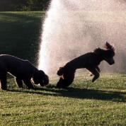 Psy vs Spryskiwacze